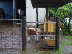 It has rained so much in Milan the horse shrank